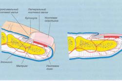 Анатомия ногтя