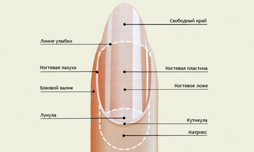 Расположение кутикулы на ногте
