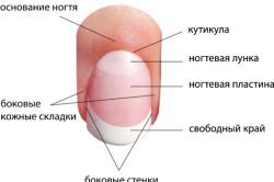 Схема строений ногтевой пластины